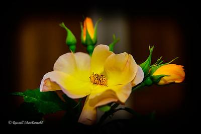 2013-06-24 Yellow roses