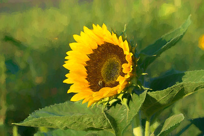 Sunflower Paintings