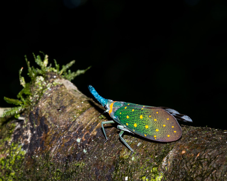 """INSECT - lantern bug-1031...My favorite picture of the trip...no real """"lantern""""...really beautiful colors!!!!"""