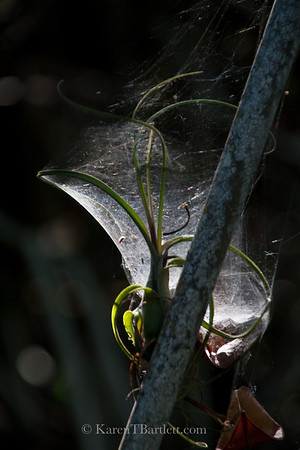 9305 A spider web catches the morning light deep in the mangrove tunnels of the Ten Thousand Islands