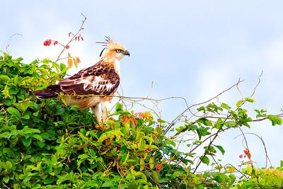 Ceylon Crested Hawk Eagle