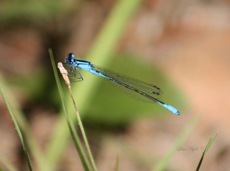 IMG_4451 PS Blue Dragonfly signed.jpg