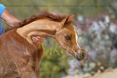 Firenze Filly