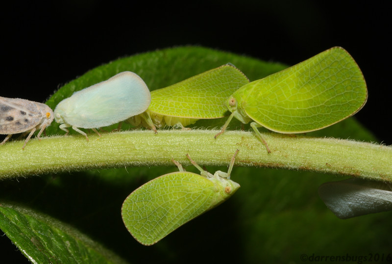 A snapshot of planthopper diversity in my backyard in Iowa. From left to right: Metcalfa pruinosa, then Ormenoides venusta, and I believe the remaining green ones are Acanalonia species, likely A. conica.