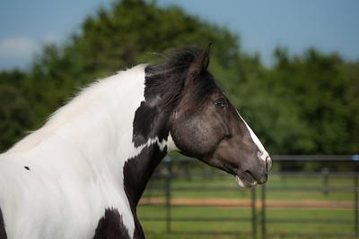 Bridlewood Gypsy Horses