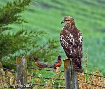 Immature Red Tail Hawk