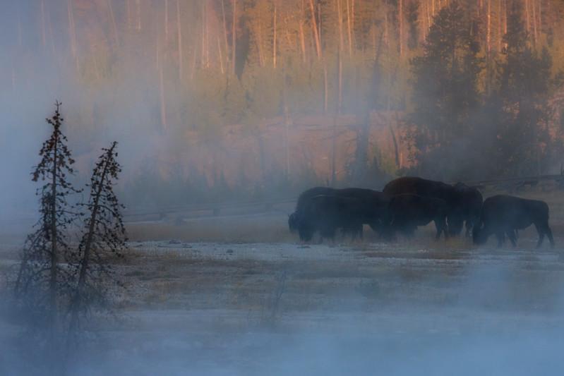 bison8x12.jpg