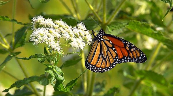 Sandy Ridge Butterflies 8-25-2019