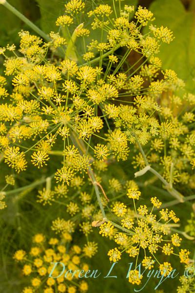 Foeniculum vulgare_017.jpg