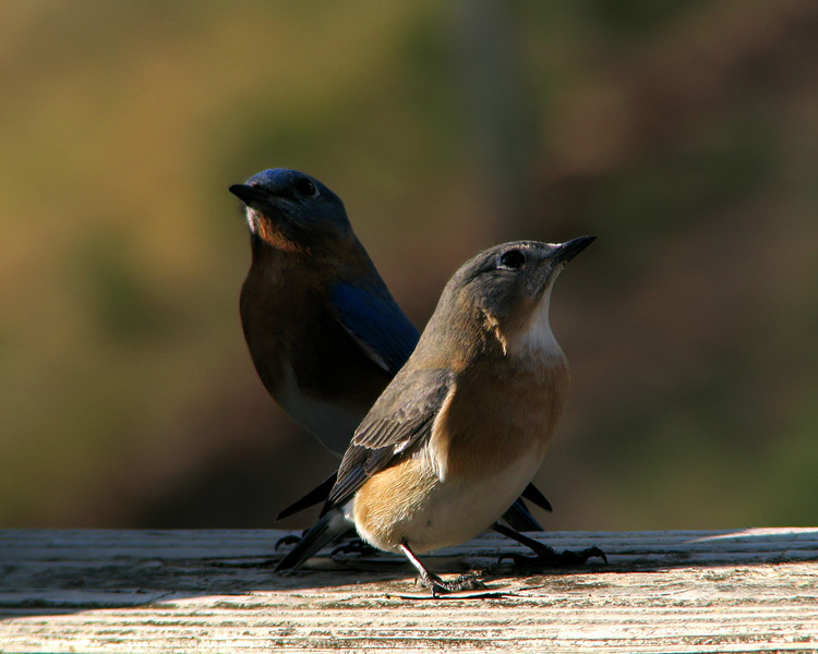 bluebird_8122.jpg