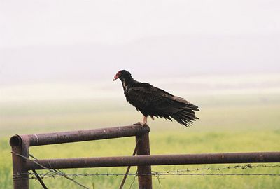 BIRDS: New World Vultures (Cathartidae)