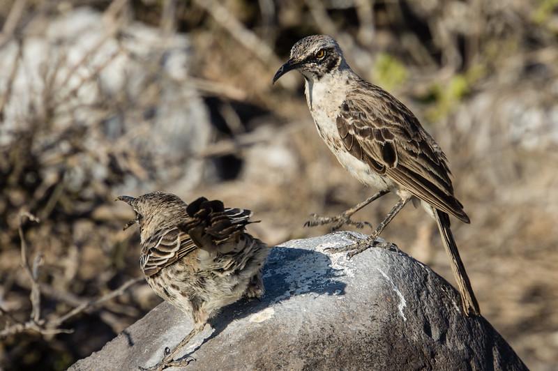 Española Mockingbirds