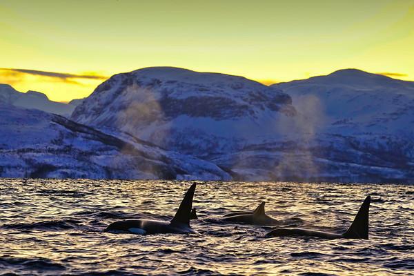 Orcas in Norwegian fjords