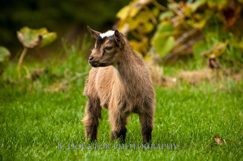 1310_Nigerian dwarf goats_090.jpg