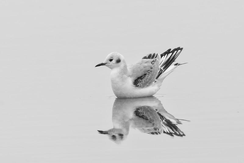 Bonaparte's Gull