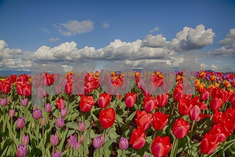 Tulips, Skagit 3964_HDR.jpg