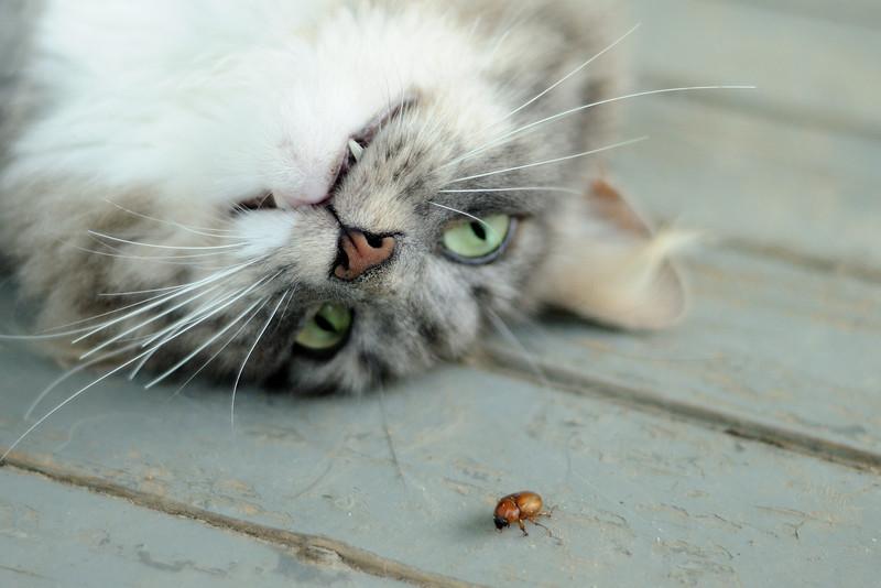 Puff versus the June Bug