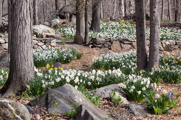Daffodils ~ Music in the Woods