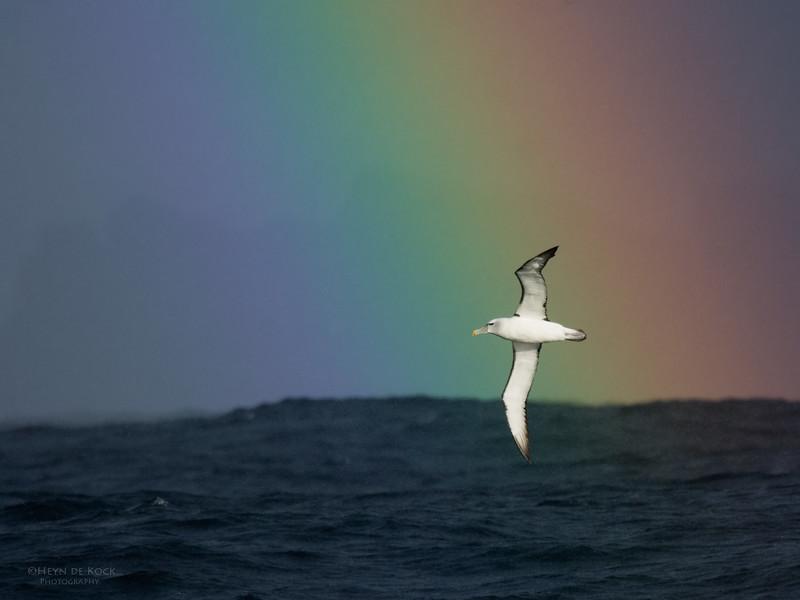 Shy Albatross, Eaglehawk Neck Pelagic, TAS, May 2016-1.jpg