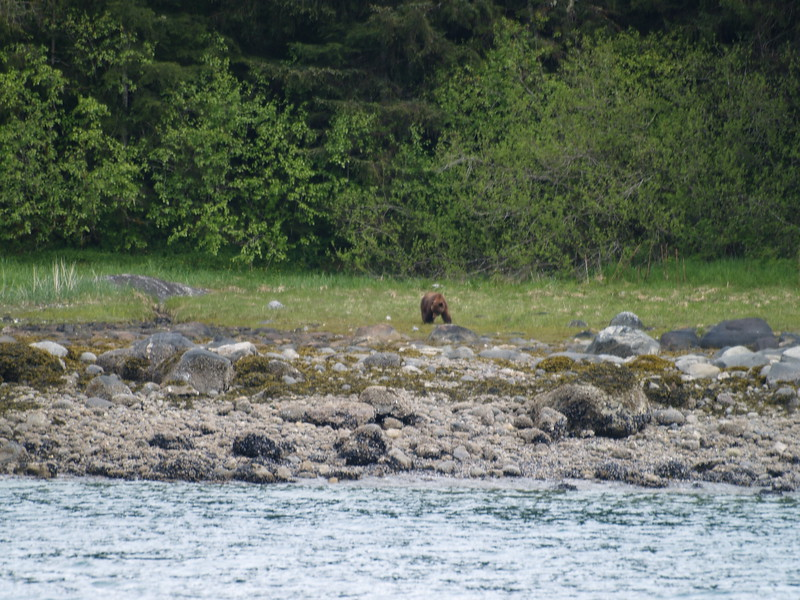Brown bear just outside Tracy Arm
