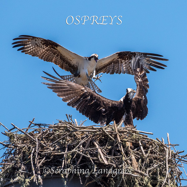_DSC0788Ospreys Dance.jpg
