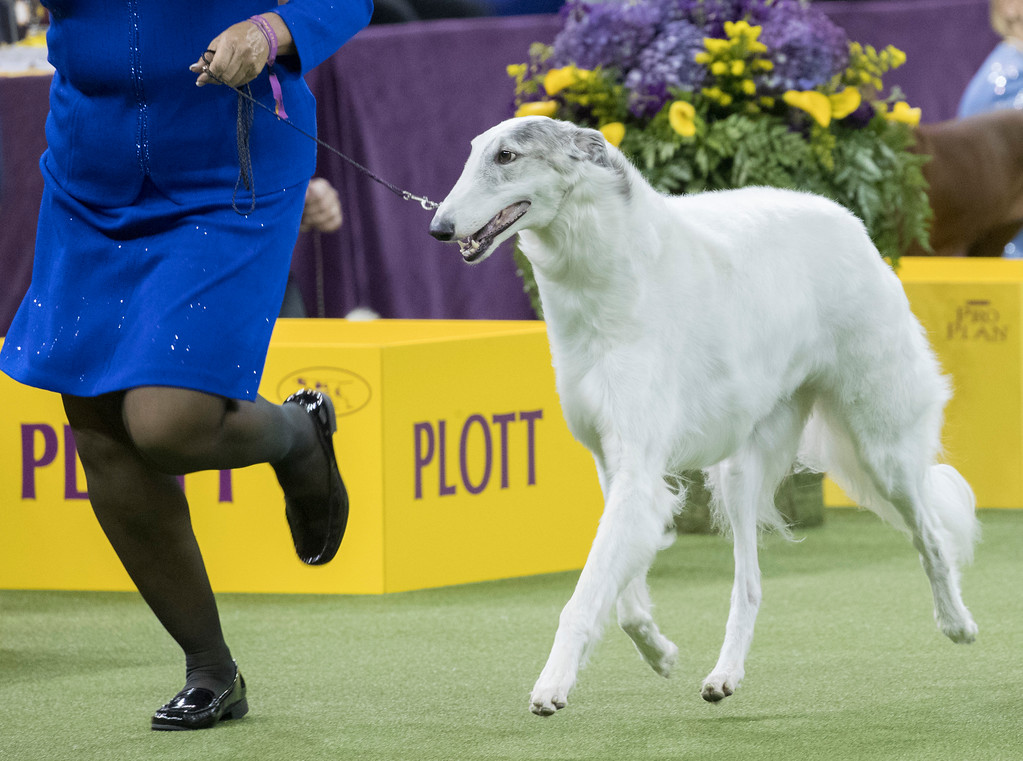 . Lucy, a borzoi, is shown in the ring during the Hound group competition during the 142nd Westminster Kennel Club Dog Show, Monday, Feb. 12, 2018, at Madison Square Garden in New York. Lucy won best in group. (AP Photo/Mary Altaffer)