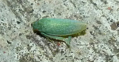 P118GyponanaSpLeafhopper887 Nov. 1, 2012  7:07 a.m.  P1180887 This is a Gyponana species leafhopper at LBJ WC.