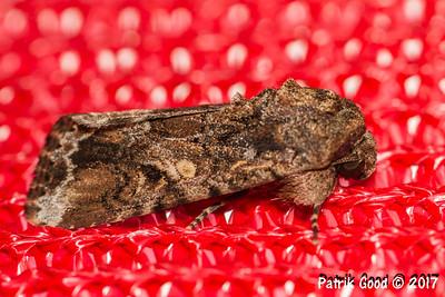 Lawn Armyworm Moth