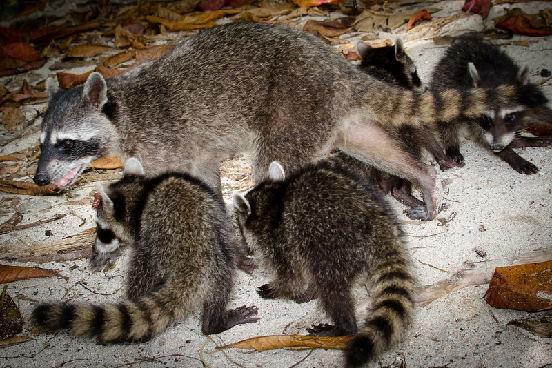 20131120_raccoons_1.jpg