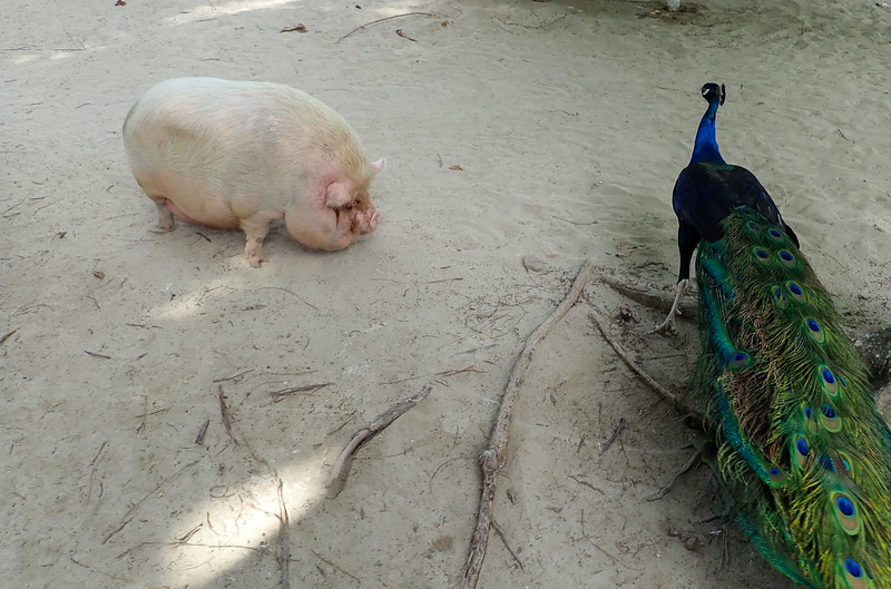 Pig and Peacock at the beach