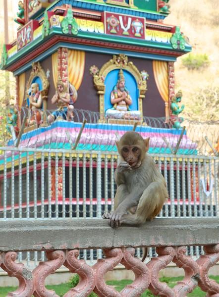 Galta ji - also known as Monkey Temple