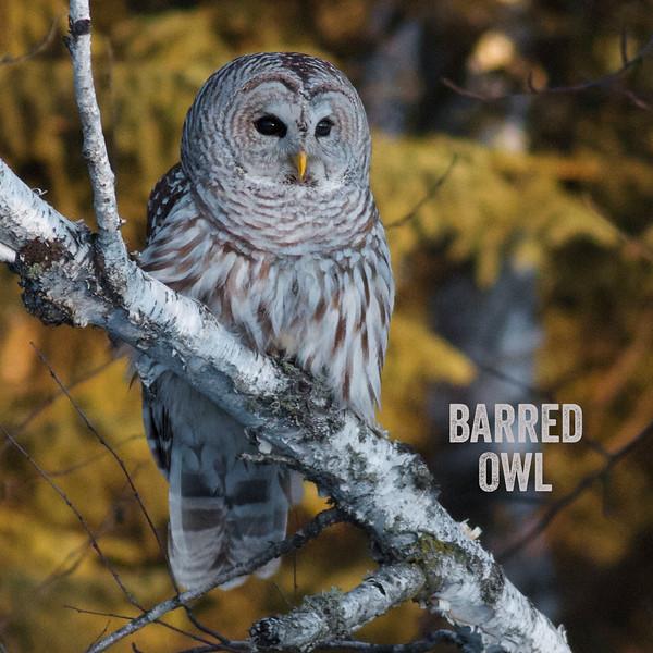 Barred Owl Peary Road near Yellow-bellied Bog Sax-Zim Bog MN IMG_5708.jpg