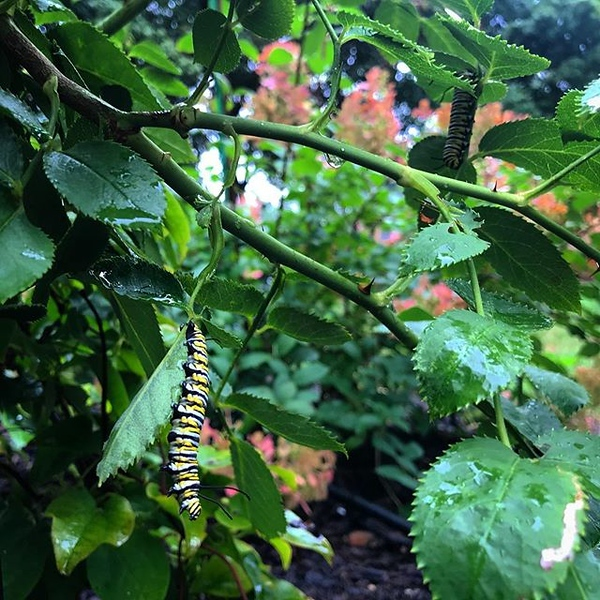 Aha, there you are! Two 🐛 hiding in the rose bushes. Maybe they are just finding for a spot to shed their skin but I prefer you guys do it indoors. Rant: A lot of snobs out there. Even butterfly nerds. Ugh.  I don't do that even if I know more than ot