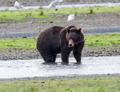 Bear viewing Pack's Creek 15/08/04
