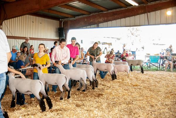 Mt. View Fair Sheep