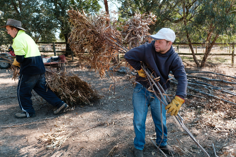 Young Men clearing a Fallen Tree in a Paddock