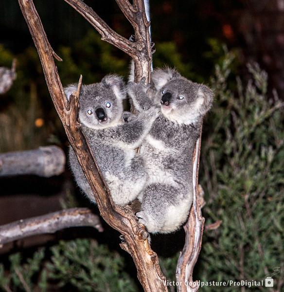 Koalafornia-48.jpg