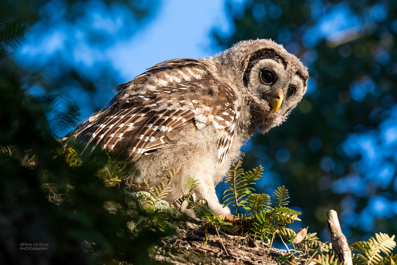 Barred Owl, juv, Circle B Bar, Lakeland, FL, USA, May 2018-2.jpg