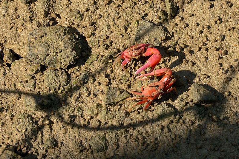 Fiddler-crabs-waving-claws.jpg