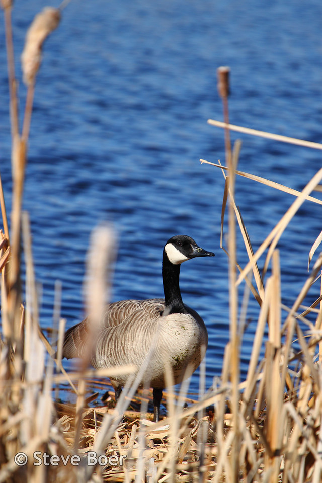Canada goose on land