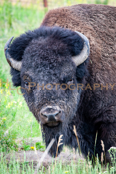 06/21/19 National Bison Range in Charlo, Montana