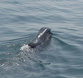R1622122 - Bowhead whale 2