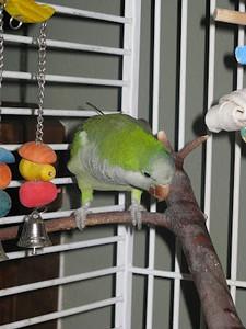 2009 Escaped  QUAKER Parrot Rescued & Reunited