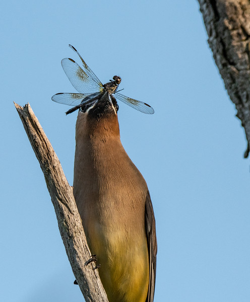 Cedar Waxwing dragonfly1