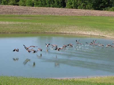 20090605 Canada Goose