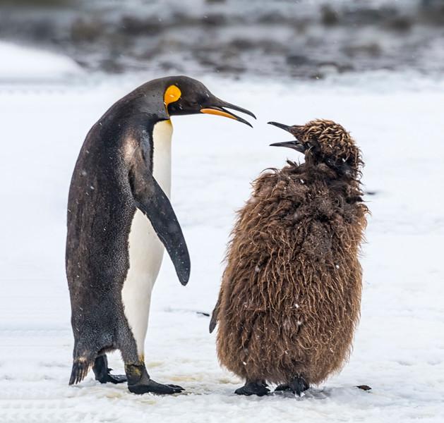 Penguins_King_Fortuna_South Georgia-13.jpg