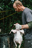 Man slaughtering and cleaning a free-range chicken on a small-scale, backyard organic, local farm