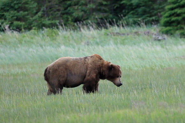 Male Brown Bears Alaska June 2017
