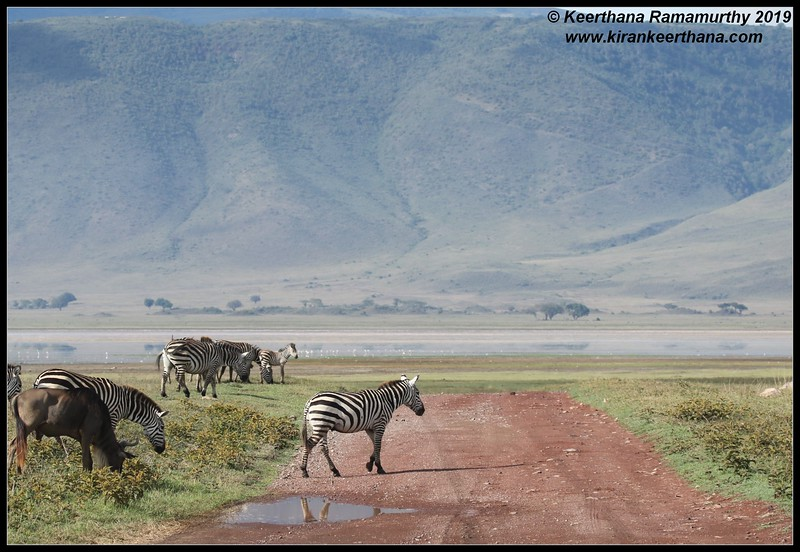 Zebra, Ngorongoro Crater, Ngorongoro Conservation Area, Tanzania, November 2019