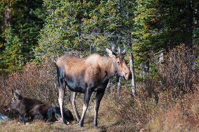 Moose in the Rockies